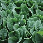 Seaside F1 Spinach Seeds - an excellent choice for baby leaf !!!!!