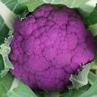 Graffiti F1 Hybrid Cauliflower Seeds - finest of the hybrid purple cauliflowers.