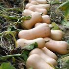 Butterfly F1 Squash Seeds - This is an excellent butternut squash!!
