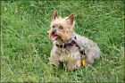 Poster, Many Sizes; Yorkshire Terrier P3