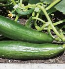 Ishtar Cucumber Seeds - it's great for coastal growers !! very Productive!!!!!