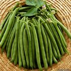 Provider Green Bean Seeds -  Fleshy, round pods on compact bush. Yields well !!!