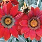 Gazania Kiss Frosty Red Flower Seeds (Gazania Rigens) 10+Seeds
