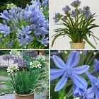 100 Agapanthus Flower African Seeds Mixed Perennial Plant for Garden