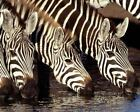 Zebra Drinking Water Art Poster Print New
