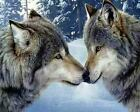 Animal Love Two Wolfs Art Poster Print New
