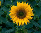 Sunspot Dwarf Sunflower - Great Cut Flowers! Huge and So Beautiful-Free Shipping