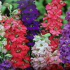 Giant Imperial Mix Larkspur Seeds-Exquisite long flower spikes - Feathery