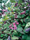 Purple Hyacinth Bean Seeds - Very Colorful vining plants!  Ruby-purple bean-pods