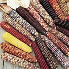 Indian Ornamental Corn Seeds(MIXED VARIETIES) - So colorful and so fun to grow!