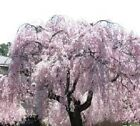 10 Weeping Cherry Cuttings! Grow your own and Save $$$  Over 70 Kinds L@@K