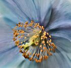 Print of Poppy, Blue Flowers, Flower Photography, Macro Photography, Garden