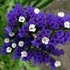 Statice Purple Attraction Flower Seeds (Limonium Sinuatum) 50+Seeds