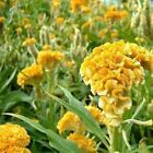 Cockscomb Yellow Flower Seeds (Celosia Cristata Nana Jessica) 30+Seeds