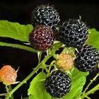 Raspberry Black Bush Seeds (Rubus occidentalis) 25+Seeds