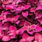 Coleus Jazz Velvet Flower Seeds (Solenostemon scutellarioides) 10+Seeds