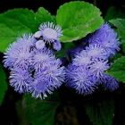 Ageratum Blue Flower Seeds (Ageratum Mexicanum Blue) 200+Seeds