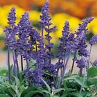 Blue Sage Flower Seeds (Salvia Farinacea) 100+Seeds