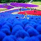 Grass seeds perennial grass Bush burning Blue kochia Scoparia seed Ornament Gard