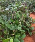 Big Boy Purple Hull Southern Pea Seeds - Cowpea Garden Seed (upto 8oz)