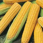 Miracle F1 Hybrid Sweet Corn Seeds -  Golden yellow & very sweet!!!!