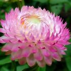 Strawflower Paper Daisy Rose Flower Seeds (Helichrysum Bracteatum) 200+Seeds