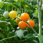 Sun Sugar Tomato Seeds - Bite-Sized Bursts of Sweetness! FREE SHIPPING!