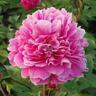 10Pcs Home Gardening Ornamental Plants Potted Colorful Peony Flower RLWH 01