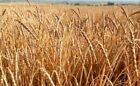 Organic Spelt Grain Seed - Dinkel Wheat Ancient Cereal Grains Seeds (1oz to 8oz)