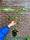 Musa basjoo frost hardy banana plant exotic plants! *with Plantpassport*