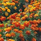 Sparky French Marigold Flower Seed Mix - Gold, Orange, Yellow, Red Colors!