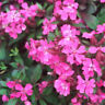 FD1712 Silene Pendula Seed Drooping Silene Garden Flower Seed ~1 Pack 50 Seeds A