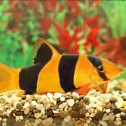 Live Tropical Aquarium Fish for Sale - Clown Loach - Bundles 1 - 10