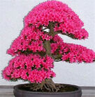 10pcs/Lot Japanese Sakura Seeds Bonsai Flower Cherry Newly Design Blossoms