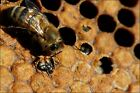 Poster, Many Sizes; Birth Of Black Bee In Hive 1