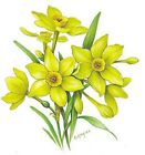Flower of the Month March Daffodil Select-A-Size Ceramic Waterslide Decals Bx image