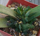 Gasteria Hybrid Nature's Curiousity Shop (NCS) Succulent Plant Group A