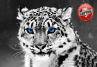 "Animal Big Cat Snow Leopard Blue Eye Poster Print Wall Art Picture Photo 14""x10"""