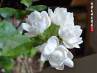 JASMINE Fragrance Oil Floral Scents for Soap,Candles,Cosmetics 10ml, 30ml, 100ml