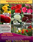 100x BULBS - Anemone - Freesia- Ranunculus-Sparaxis 400x BULBS PACK