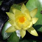 Hardy Water Lily Small Size. Full Size Plant. Yellow Flowers. Qty Discounts!
