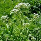 Seeds for Common Chervil | Anthriscus cerefolium | Amkha Seed