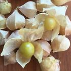 Seeds for Cape Gooseberry Ground Cherry | Physalis peruviana | Amkha Seed