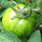 Seeds for Green Zebra Tomato | Solanum lycopersicum | Amkha Seed
