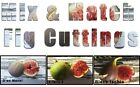 Freshly Cut Fig Tree Cuttings - Mix & Match! Choose from many varieties