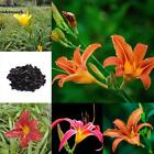 100pcs Daylilies Hemerocallis Lily Seeds Potted Bonsai Flower Seeds Home VILR