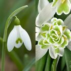 Single & Double Snowdrop Bulbs IN THE GREEN (Galanthus Nivalis) SPRING flowering