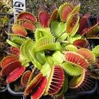 Купить Unique Venus Fly Traps