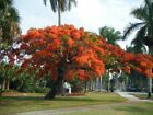 Delonix Regia Tree 10/25/75/200 Seeds, Red Royal Flowering Poinciana, USA