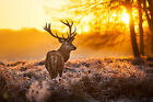 GLOSSY WALL ART POSTER PRINT Stag Deer In Golden Orange Forest Sunset Sunrise